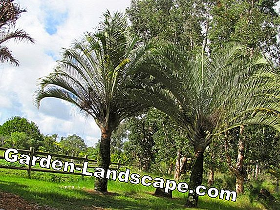 Triangular palm - cultivation and care