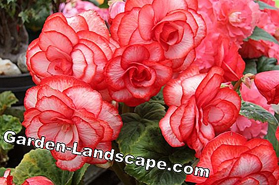 Tuber begonias - foraging, planting and wintering