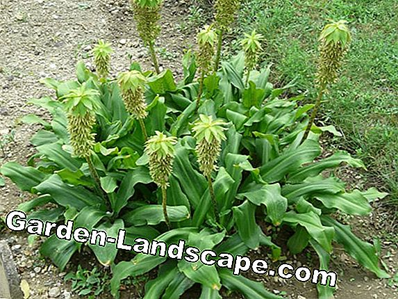 Schopflilie, pineapple flower, pineapple lily - care and wintering
