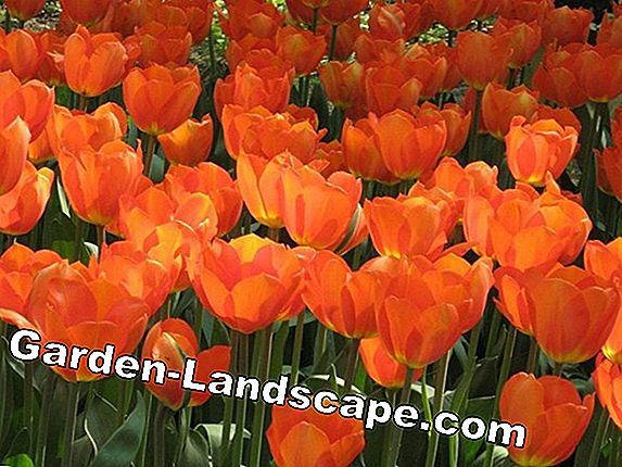 Tulip bulbs - sticking, planting and care