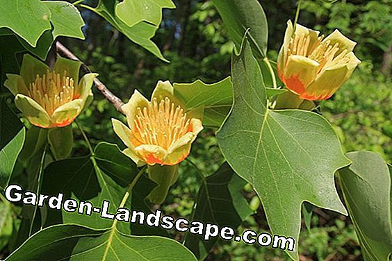 Tulip tree, Liriodendron tulipifera - all about care and cutting