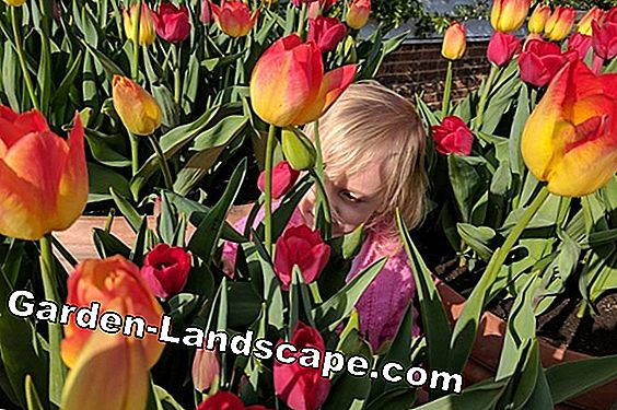 Tulips - Stuck, plant and care after flowering