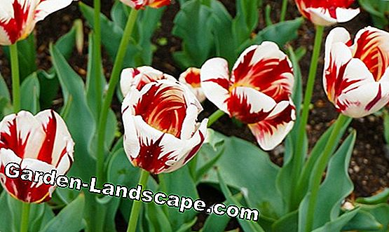 Tulips: These varieties are particularly durable