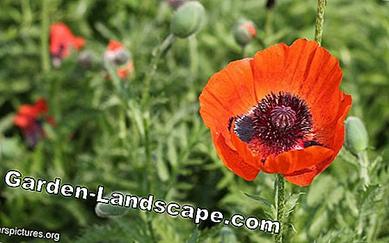 Turkish poppy, Papaver orientale, Turkish poppy - Care of A-Z