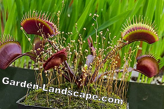 Venus flytrap: Basics for care, casting and feeding