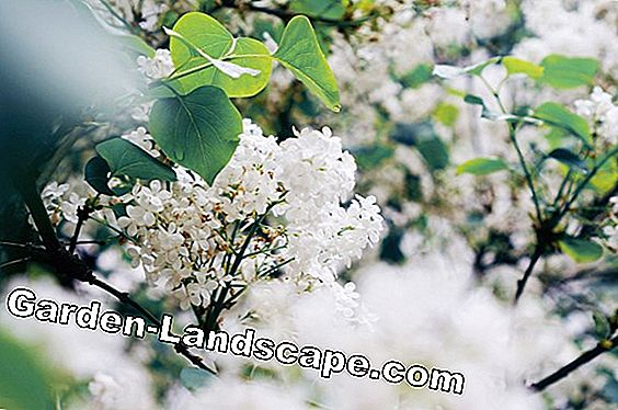 Scented snowball - plants, care and cutting