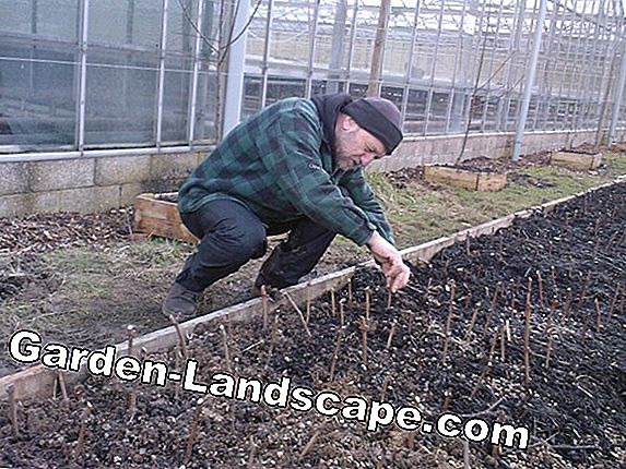 Grapevine Care - Planting, cutting and propagating
