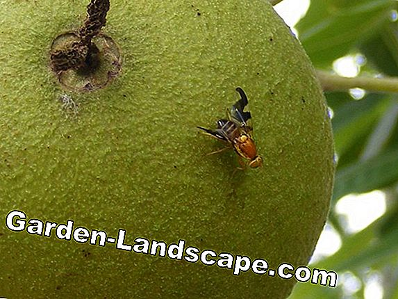 Walnut fruit fly: What helps against black nuts