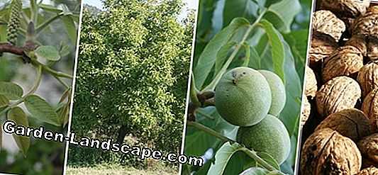 Walnut tree, Juglans regia - Profile, plants and care