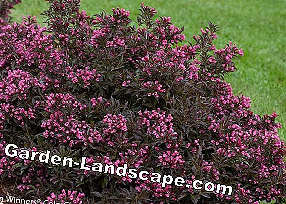 Weigelie, Weigelia - Varieties, Care and Propagation + Is it poisonous?