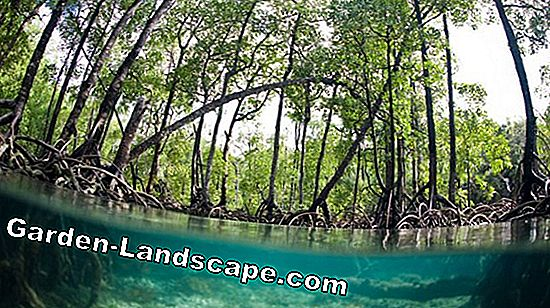 What are mangroves - tree & ecosystem
