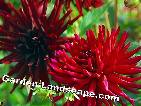 When is the planting season of dahlias?
