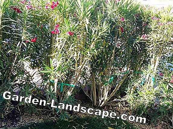 When do oleanders prune - hibernate before or after?