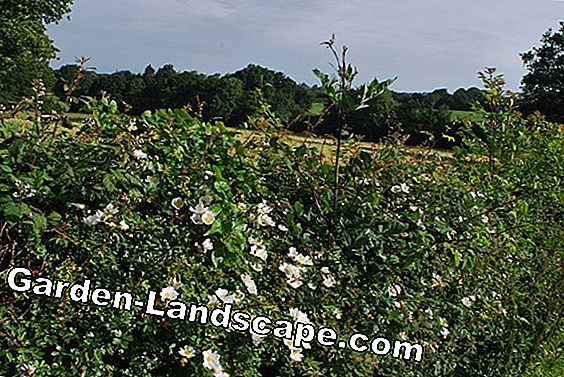 Cutting wild roses properly - care