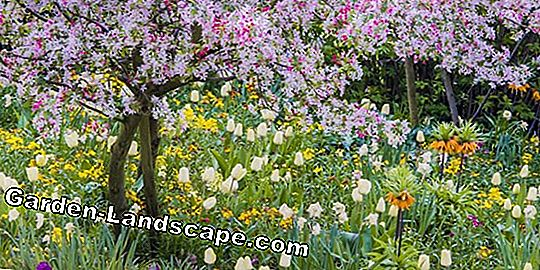 Wild Tulips: Petite spring bloomers