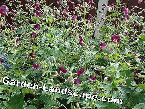 Hardy perennial bedding plants and perennials