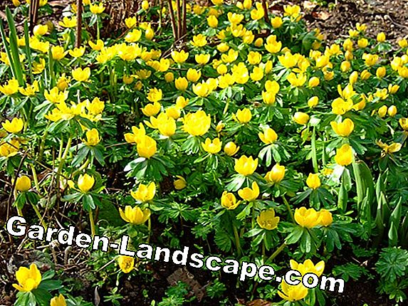 Winterlings, Eranthis hyemalis - plants and care