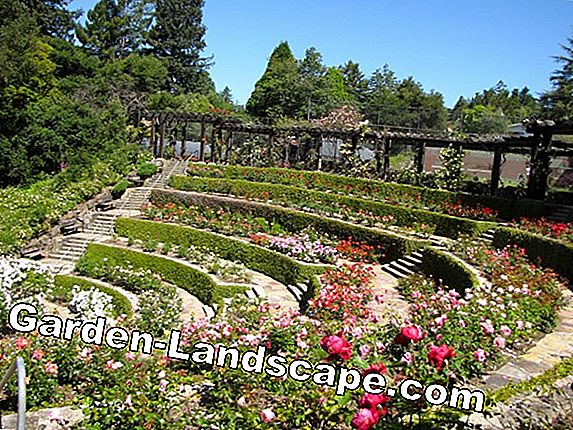 Design the garden with rose beds