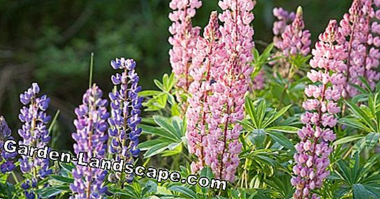 Yellow and blue lupins in the garden - sowing and care