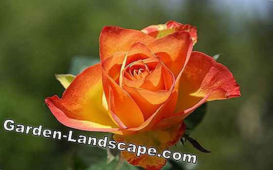 Yellow roses - meaning and beautiful varieties