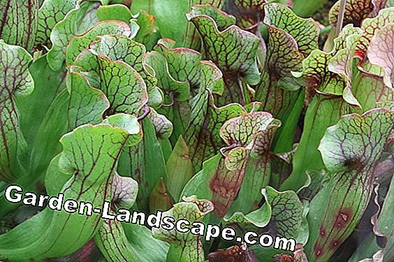 Pitcher Plant, Nepenthes - Care of A-Z and feed properly