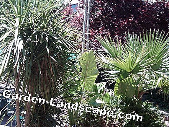 Put Yucca palm out in the garden - when is it possible?