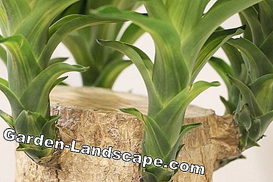 Yucca Palm, Palmlilie - Care Instructions & Propagation