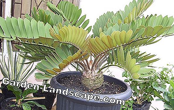 Zamia palm - plants and care