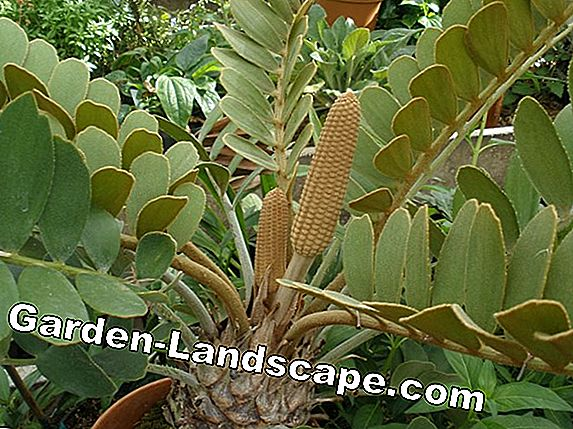 Zamia species: Furfuracea, Pumila, Fairchildiana - Nursing tips