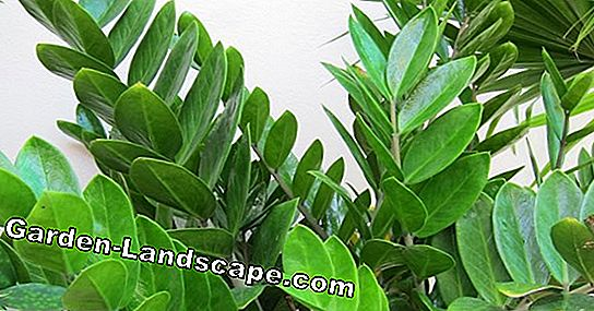 Zamioculcas poisonous or harmless? - the most important thing to the lucky pen