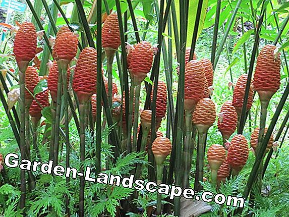 Ornamental pineapple: all about care and reproduction by Kindel