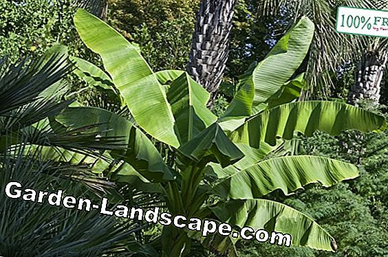 Ornamental banana (musa banana) - care, wintering, brown leaves