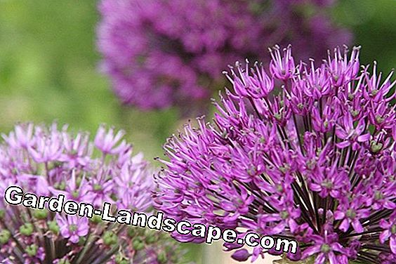 Ornamental, Allium - plants, care and propagation by seeds