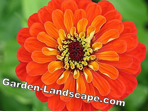 Zinnia, Zinnia - sowing and care