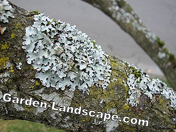Lichen on Trees: Harmful or Harmless?