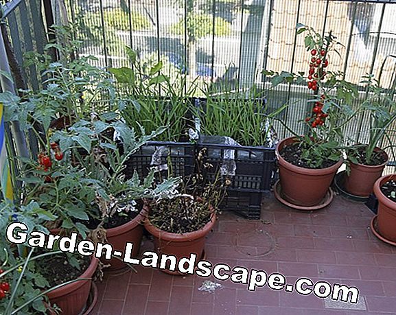 Tomato cultivation on the balcony - tips on varieties, substrate & Co
