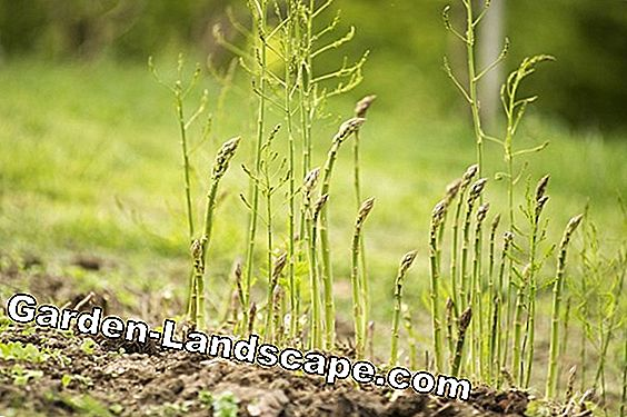 Asparagus cultivation - planting, care and harvesting