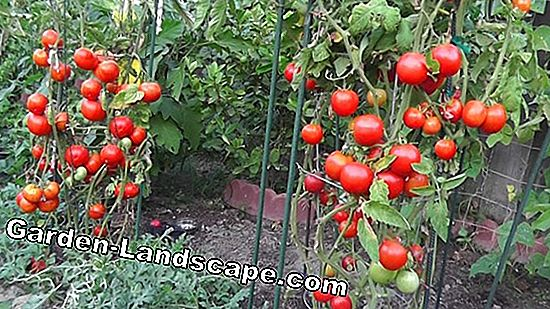 Cherry Tomatoes - Cultivation & Care