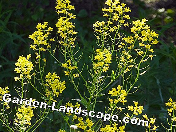 Barbarakraut, winter cress - cultivation and care