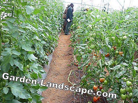 Tomato cultivation in the greenhouse - skillfully cultivate tomatoes