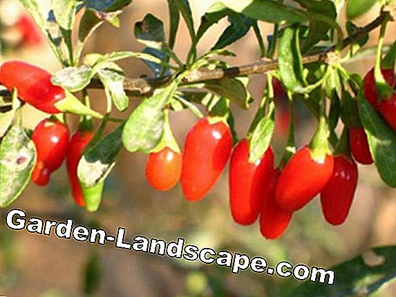 Goji Berry - Information on location, care and pruning