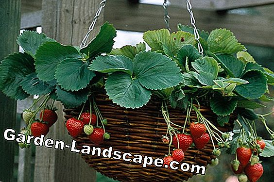 Grow hanging strawberries - 16 delicious varieties, care and wintering