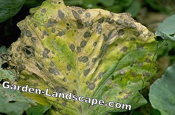 Cabbage and brown rot
