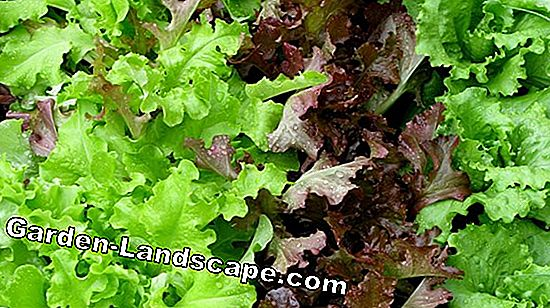 Iceberg salad cultivation - sowing, planting and care