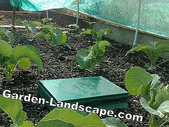 Sow kohlrabi in the garden - sowing and care