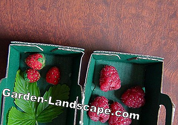 Cultivate monthly strawberries - care, increase and overwinter