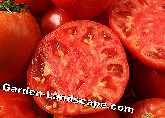 Old tomato varieties: 16 tasty and resistant varieties