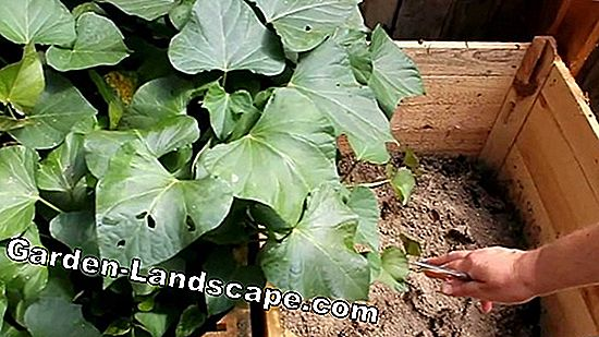 Grow potatoes - instructions for potato cultivation