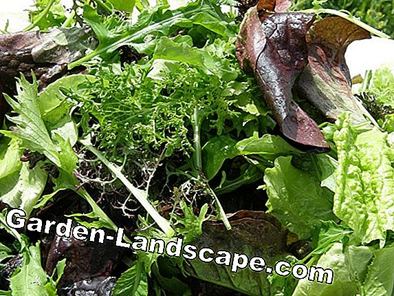 Grow radicchio salad - care in the vegetable garden