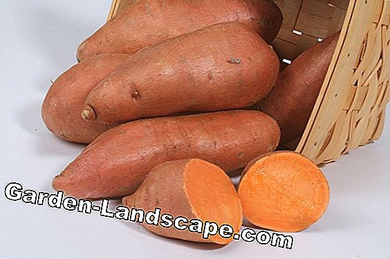 Red potatoes - varieties and information on cultivation